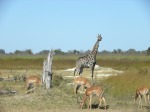 giraffe and impalas