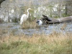 great white egret and sacred ibis