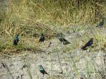 greater blue ear and burchell's starling