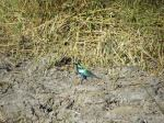 greater blue ear starling