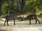 waterbucks play fighting